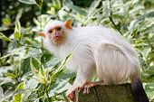 Silvery marmoset (Callithrix argentata) adult in captivity poster