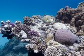 colorful coral reef with stony corals on the bottom of red sea poster