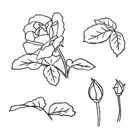 Rose With Leaves And Buds Set. Simple Hand-drawn Doodle Outline Flower For Icon Or Greeting Card And