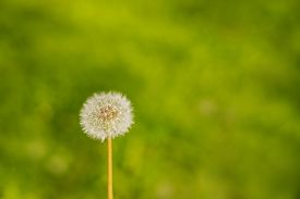 Blowball Dandelion On A Background Of Green Grass.