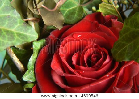 Red Rose With Green Ivy  Background