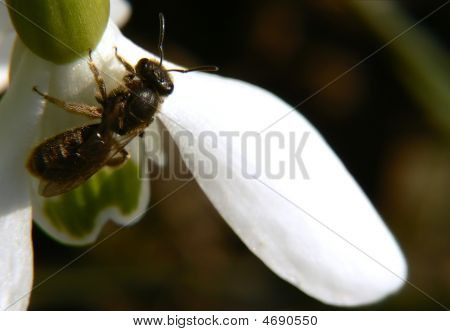 Wasp On The Snowdrop Extreme Close Up