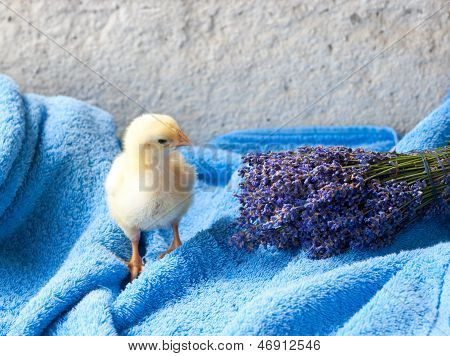 Chicken And Bunch Of Lavender