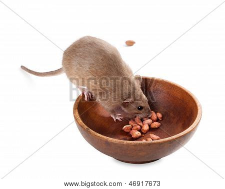 Fancy Rat (rattus Norvegicus) Eating Peanuts From Plate