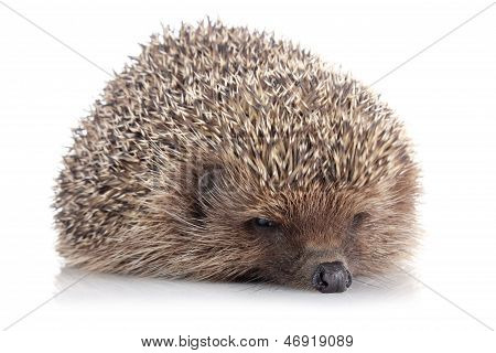 serious adult hedgehog isolated on white background poster