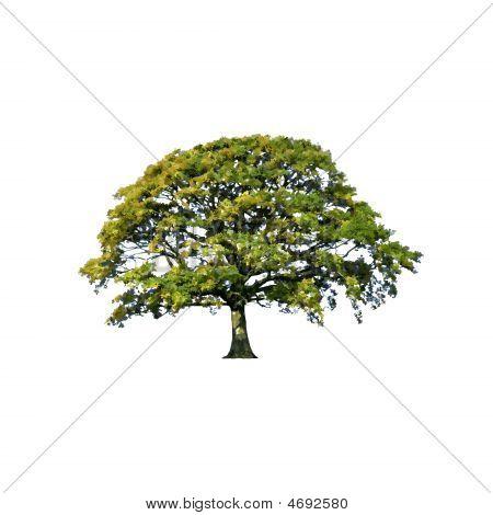 Summer Oak Tree Abstract
