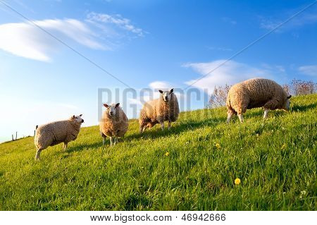 White Sheep On Spring Sunny Pasture