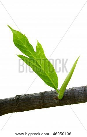 Leaves And Scion Of Breadfruit