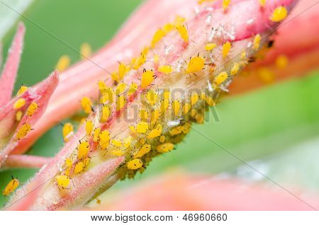 Blattläuse an der Blüte