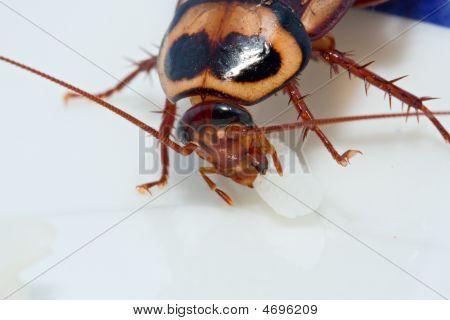 Cockroach Feeding