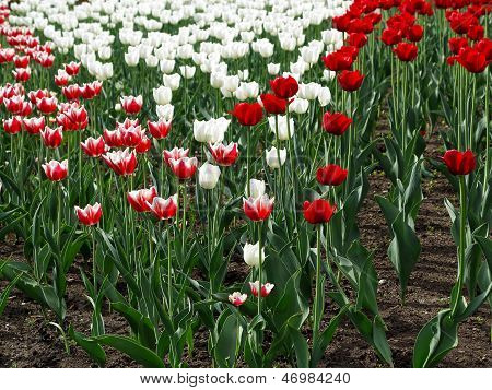 Red And White Tulips In A Flowerbed