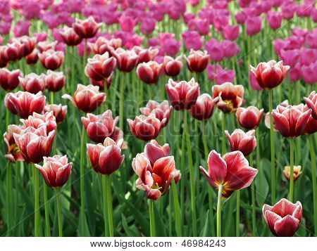 Red  Tulips In A Flowerbed