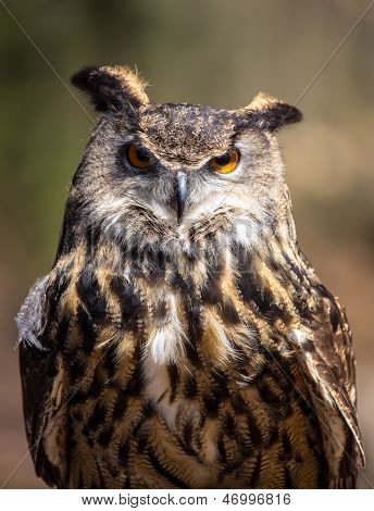 An adult Eurasian Eagle Owl in all of its majesty. Piercing orange eyes and wide wing span. Carolina Raptor Center poster