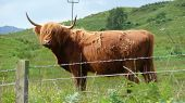 A lonely Scottish beef on a meadow poster
