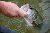fisherman holding  large mouth bass for release closeup poster