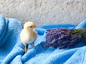 chicken and bunch of lavender on the blue terry towel poster