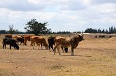 Herd of cows feeding on the farmland poster