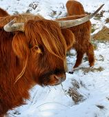 Highland cow looking curious at the camera poster