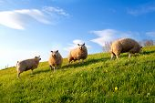 white sheep on spring sunny green pasture over blue sky poster