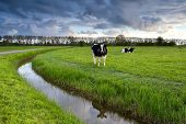 two black and white cows on pasture after storm Netherlands poster