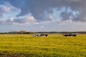 cattle on green pasture in morning sunshine Holland poster