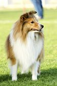 A young beautiful white and sable Shetland Sheepdog standing on the lawn looking happy and playful. Shetland Sheepdogs look like miniature collies and are known for being a very intelligent obedient and loyal breed. poster
