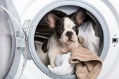 French bulldog puppy inside the washing machine poster