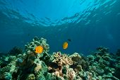 coral ocean and fish taken in the red sea. poster