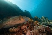 coral ocean and Napoleon wrasse taken in the red sea. poster