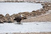 Bald eagle standing in the water along a rocky shore poster