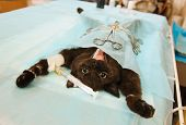 cat before operation in veterinary station under anaesthesia poster