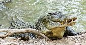 Close up of saltwater crocodile as emerges from water with a toothy grin. The crocodile's skin colorings and pattern camouflage the animal in the wild. poster