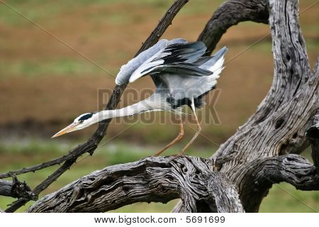 Grey Heron standing on tree ready to fly away poster