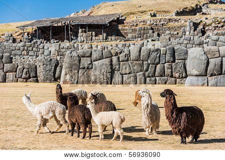 Alpacas at Sacsayhuaman, Incas ruins in the peruvian Andes at Cuzco Peru