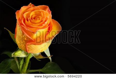 Yellow Rose Solitarie