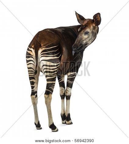 Rear view of an Okapi licking, Okapia johnstoni, isolated on white