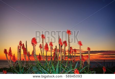 Cactus Flowers On The Beach