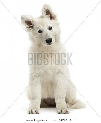 Swiss Shepherd Dog puppy sitting, looking at the camera, 3 months old, isolated on white