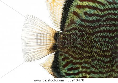 Close-up of a Blue snakeskin discus' caudal fin, Symphysodon aequifasciatus, isolated on white