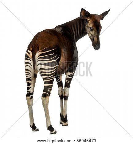 Rear view of an Okapi looking back, Okapia johnstoni, isolated on white