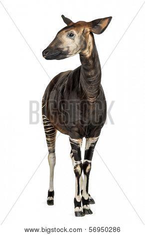Okapi standing, Okapia johnstoni, isolated on white