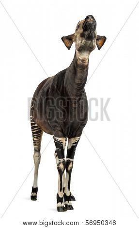 Okapi standing, looking up, Okapia johnstoni, isolated on white