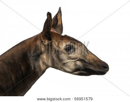 Close-up of an Okapi profile, Okapia johnstoni, isolated on white