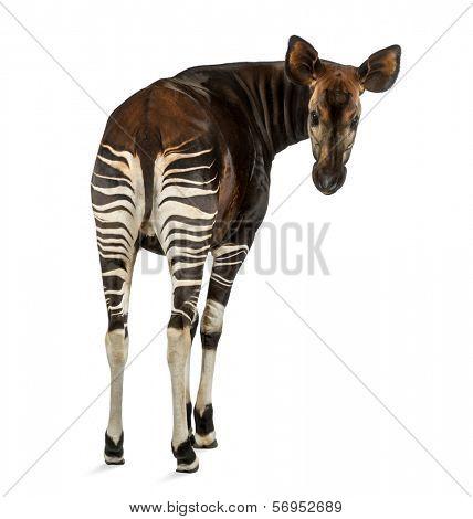 Rear view of an Okapi, looking back at the camera, Okapia johnstoni, isolated on white