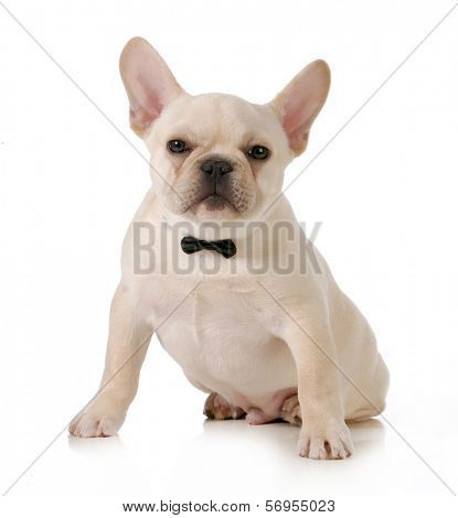 male french bulldog wearing a black bowtie isolated on white background