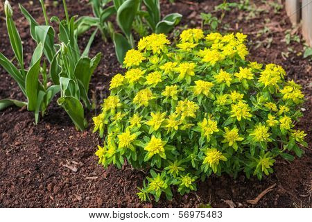 Cushion spurge (E. epithymoides) is one of the most commonly grown garden spurges. Its profuse neon-yellow bracts punctuate the early spring garden.