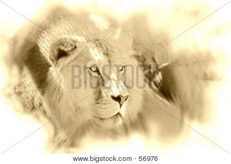 Old Time Lion...