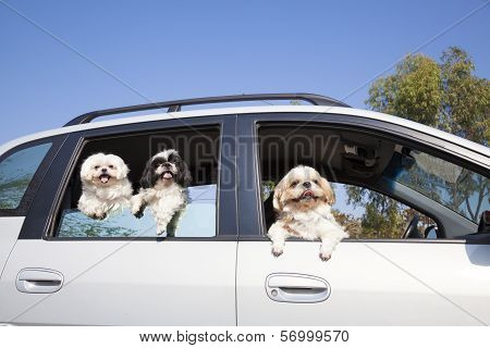 dog's family enjoying in the car.looking forward together poster