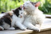 Mother cat washing her adorable kitten in summer poster
