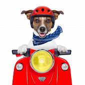 motorcycle dog driving a motorbike with helmet at high speed poster